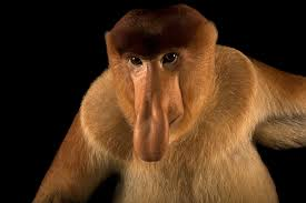 big nosed monkey is the 6 000th member of the photo ark