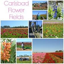 carlsbad flower garden spring is in the air at the flower fields in carlsbad oc mom