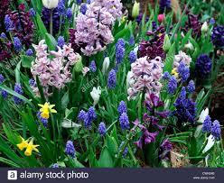 hyacinth muscari narcissus jetfire crocus mixed bed border spring