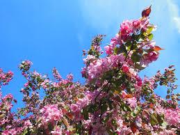 free photo japanese cherry blossom wallpaper free image on