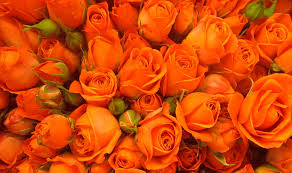 orange roses orange roses steve flickr