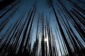 When Do They Light The Tree In Nyc Let Forest Fires Burn What The Black Backed Woodpecker Knows