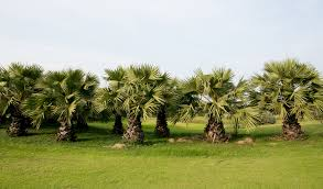 commercial palm trees fake palm trees outdoor artificial palm