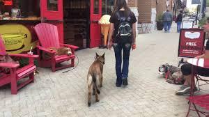 belgian shepherd oklahoma wow 5 month old malinois jager belgian malinois trainers in