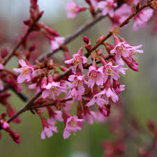 prunus okame flowering cherry tree mail order trees