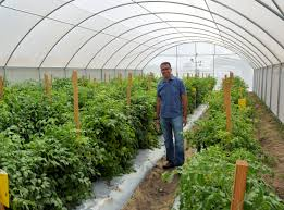 agrilife research scientist studies structures to boost tomato
