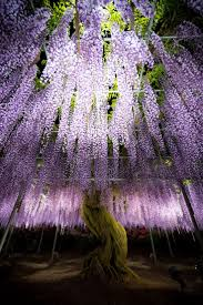 wisteria sinensis australian bush flower 90 best wisteria and other climbers images on pinterest forests