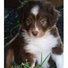 south dakota australian shepherd little ranch dogs miniature australian shepherd breeder in