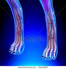 Dog Anatomy Front Leg Dog Anatomy Stock Images Royalty Free Images U0026 Vectors Shutterstock