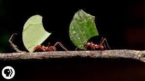 where are the ants carrying all those leaves deep look youtube