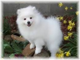 american eskimo dog a z american eskimo dog breed information and pictures on puppyfinder com