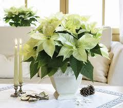 48 best white poinsettias images on flowers