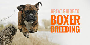 boxer dog price breeding boxers u2014 introduction to better boxer breeding