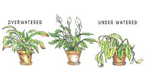sign and solutions for over and under watering house plants