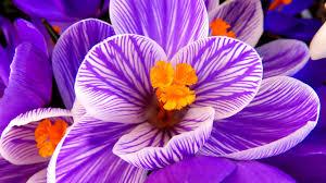 purple flowers wallpaper crocus flower purple flower hd flowers 6730