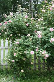 Rose Bush Trellis The Spanish Dahlia Give Me Roses And Peonies For A Lifetime