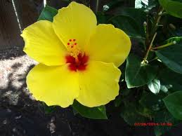Yellow Hibiscus Flowers - hibiscus flowers seen in my yard this morning the daily hibiscus