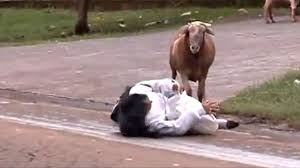 Billy Goat Meme - angry billy goat terrorizes town youtube