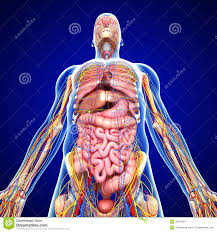 Nervous System Human Anatomy Nervous System With Circulation In Human Body Royalty Free Stock