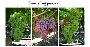 Grape Trellis For Sale Grow Perfect Grapes