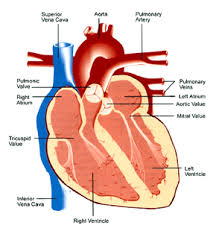 External Heart Anatomy External Heart Posterior View Anatomy Pulmonary Interatrial Septum