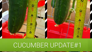 cucumber plants trellis growth and production update 1 youtube