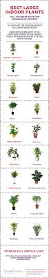 biggest house plants 18 best large indoor plants tall houseplants for home and offices