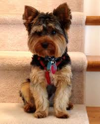 haircuts for yorkies my handsome yorkie marley yorkie yorkies handsome guys