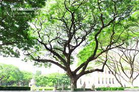 tree chulalongkorn