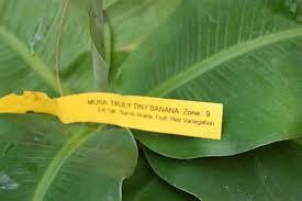 tiny banana musa truly tiny banana is the smallest edible fruit producing