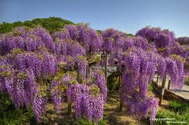 deloprojet wisteria expression of appreciation both graceful and