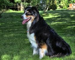 australian shepherd average weight australian shepherd dog breed answers