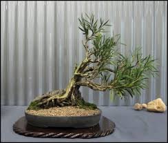 Small Indoor Trees by The Advantageous By Put Indoor Bonsai Tree Tree Tall Yacca Tree