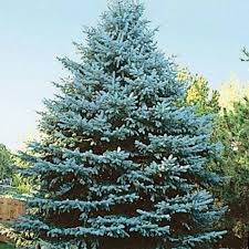 blue spruce trees colorado blue spruce tree gurney s seed nursery co