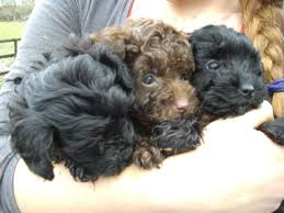 yorkie poo haircut yorkie poo puppy s black and brown waterlooville hshire