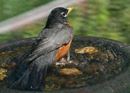 robins use their eyes and ears to fill their stomachs