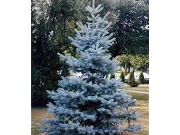 all i want for is a beautiful blue spruce southern living