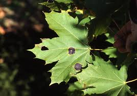maple tar spot disease what causes black spots on maple leaves