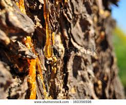 tree resin stock images royalty free images vectors