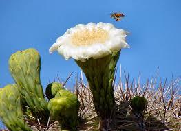arizona flowers arizona flowers pictures photos images descriptions