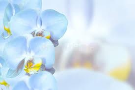 Blue Orchid Flower Romantic Blue Orchids Flowers Stock Image Image 35044781