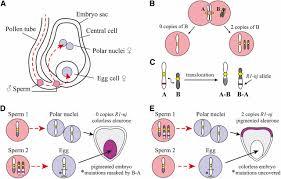 genetic and genomic toolbox of zea mays genetics