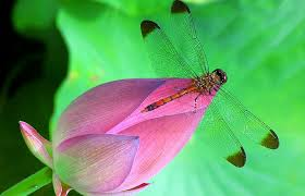 flowers dragonfly smell pollen photography lovely life animals