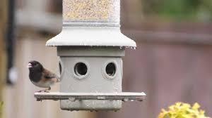 backyard bird watching oregon junco youtube