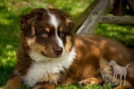 australian shepherd uk follow my lead coningsby dog training u0026 behaviour