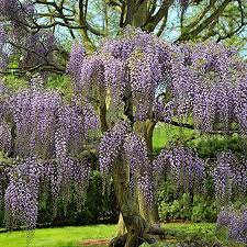 Trellis For Wisteria Wisteria Tree Wisteria Trees For Sale Fast Growing Trees
