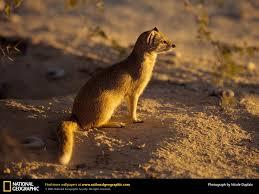 mongoose picture mongoose desktop wallpaper free wallpapers