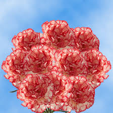 bulk carnations bulk peppermint carnations standard global