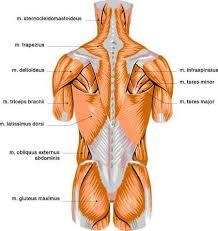 Human Anatomy Muscle Human Muscles Color Charts Detailing Human Muscle Anatomy