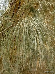 abraham planted tamarisk trees god as a gardener
